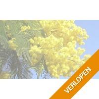 Mimosa Acacia Dealbata planten
