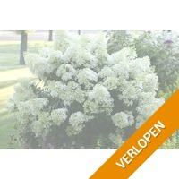 XXL hortensia planten