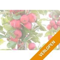 Set van 2 Appletini appelbomen