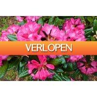 Marktplaats Aanbieding 2: Set van 2,4 of 6 rijkbloeiende Rhododendron