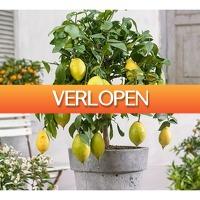 Koopjedeal.nl 2: XL citroenbomen op stam