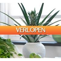 Koopjedeal.nl 2: Tropische XL ananasplanten