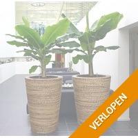 Veiling: 2 tropische bananenplanten