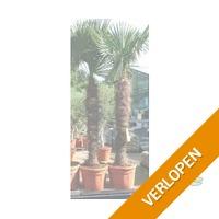 Mega palmboom