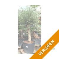 Olijfboom medium stam