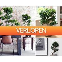 1DayFly Home & Living: XXL bonsai boom