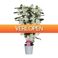 FloraStore: Dendrobium Nobile Classic Apollon 3 tak