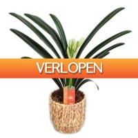 FloraStore: Clivia Miniata in waterhyacint mand (oranje)