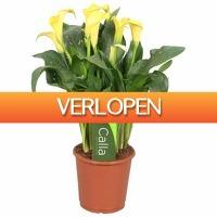 FloraStore: Zantedeschia Calla Sunclub geel 5 en bloem
