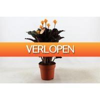 FloraStore: Calathea Crocata tassmania 5-6 bloemen pot 17 cm