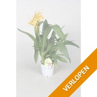 Orchideeen Brassia Orange Delight 1 tak