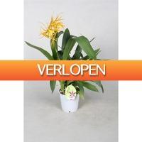 FloraStore: Orchideeen Brassia Orange Delight 1 tak