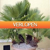 Koopjedeal.nl 2: Schitterende winterharde palmbomen
