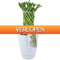 FloraStore: Lucky Bamboo In relief pot 11 cm