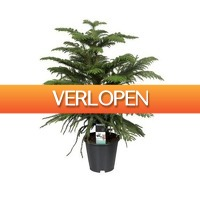 FloraStore: Araucaria Heterophylla (kamerden) 70 cm