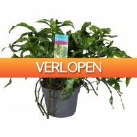 FloraStore: Microsorum Diversifolium