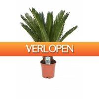 FloraStore: Cycas Revoluta 60 cm