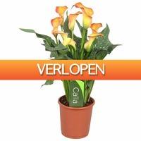 FloraStore: Zantedeschia Calla Morning Sun Oranje