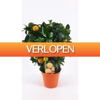 FloraStore: Citrus Citrofortunella Microcarpa op rek