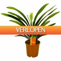 FloraStore: Clivia Miniata bloeiend (oranje)