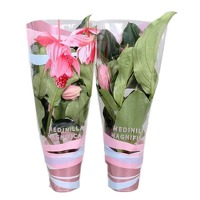 FloraStore: Medinilla Magnifica met 6 knoppen in Cadeauhoes