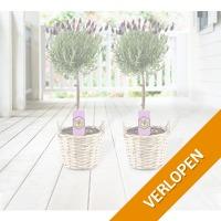 Set van 2 Fleurige Lavendelboompjes incl. Rieten Manden