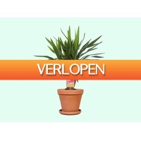 Tripper Producten: Haal de stoere kamerplant Yucca