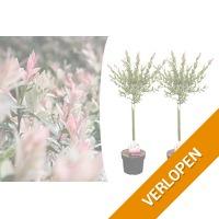 Veiling: 2 Salix Flamingo bomen (75 - 80 cm)