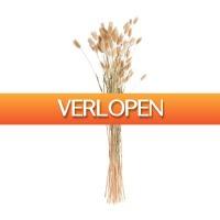 Xenos.nl: Lagurus - 70 cm