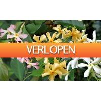 Groupon 3: 1 set van 3 jasmijnplanten 'Trachelospernum'