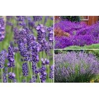 Bekijk de deal van VoucherVandaag.nl 2: Lavendelplanten