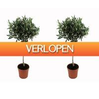Koopjedeal.nl 1: Set van 2 XXL winterharde olijfbomen op stam