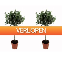 Koopjedeal.nl 1: Set van 2 XXL winterharde olijfbomen