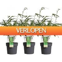 Koopjedeal.nl 1: Set van 3 Bamboestruiken