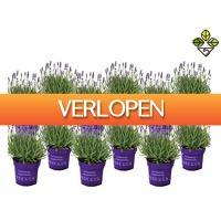 iBOOD Home & Living: 12 x Perfect Plant lavendelstruik