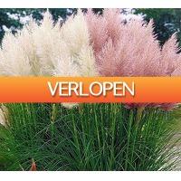 Koopjedeal.nl 2: 4 x pampasgras