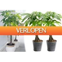 VoucherVandaag.nl 2: Pachira boompjes
