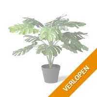 Monstera plant - 16 x 75 cm