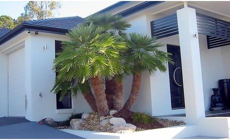 Groupon: Chamaerops Vulcano palmen