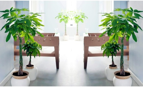 Groupon: Set van 2 Pachira-planten in pot