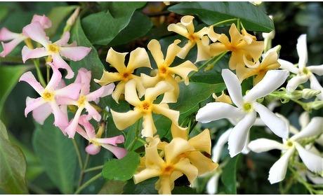 Groupon: Set van 3 jasmijnplanten