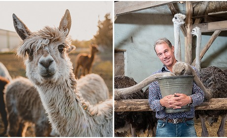 Social Deal: Struisvogel meet & feed of alpacawandeling